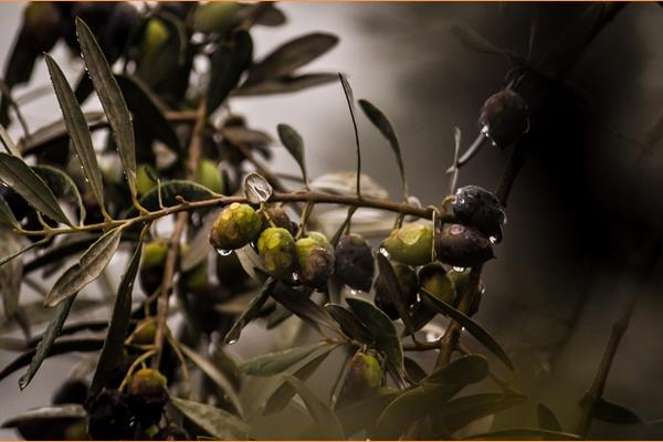 """Επιμελητήριο: """"Μύθοι και αλήθειες για την ελιά"""""""